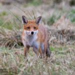 foxes in Cornwall