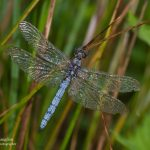 dragonflies in Cornwall