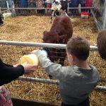 Bottle-feeding-calves-dairyland-farmworld-cornwall