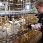 Bottle-feeding-goats
