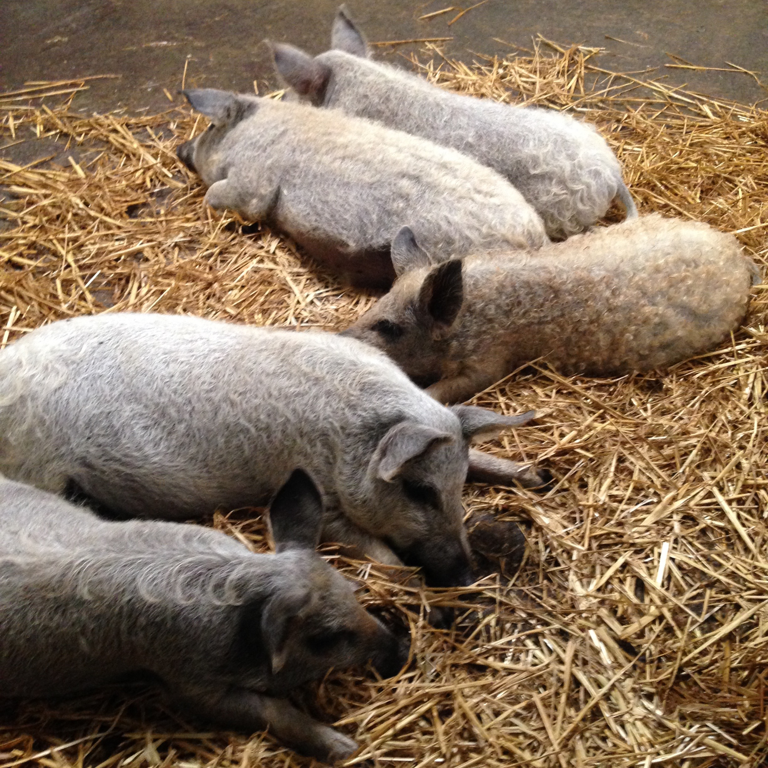 Rare-breed-pigs