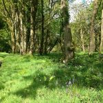 ancient-woodland-cornwall