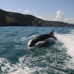 bottlenose dolphins in Cornwall