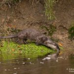 Otter wildlife in Cornwall