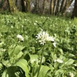 Wild garlic cornwall