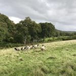 Keeping jacob sheep in Cornwall